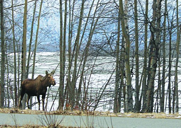 A moose grazes beside an Alaska highway, where a sign warns that 243 such creatures have been struck by Mat-Su Valley motorists since last July.