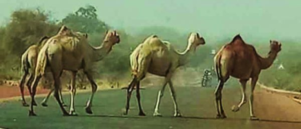 Camels cross George Akpabli's path as he journeys along the south Sahara.