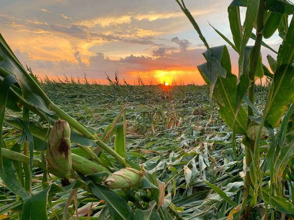 A corn field at sunset flattened by the high winds of the